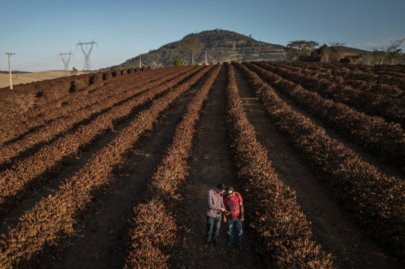 مزارعان يتفقدان نباتات البن التي دمرها الصقيع بالقرب من بلدة كاكوندي في ولاية ساو باولو