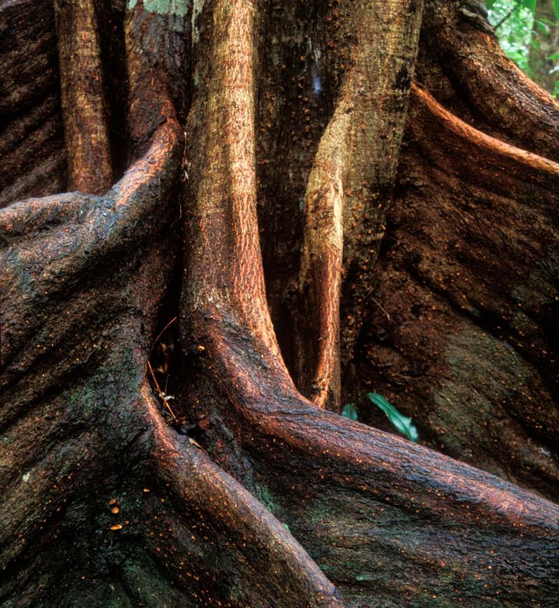 جذر شجرة في غابة دينتري المطيرة