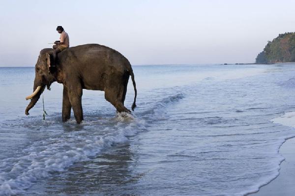 فيل ومدربه يتوجهان إلى المحيط الهندي للاستحمام في جزر أندامان