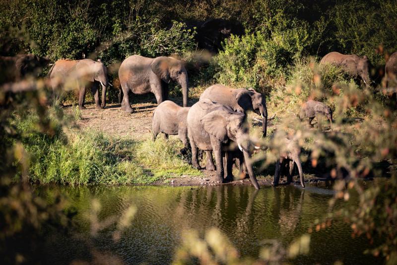 """قطيع من الأفيال في """"متنزه كروغر الوطني""""بجنوب إفريقيا"""