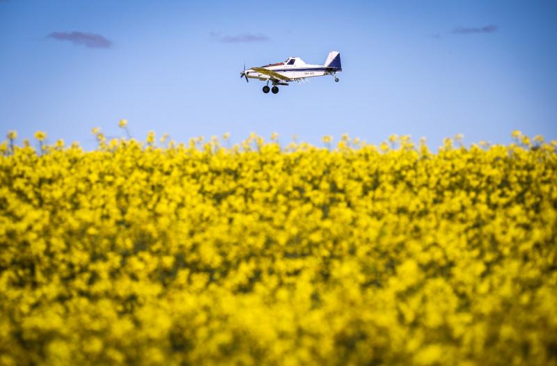 طائرة تقوم برش مبيدات القوارض على حقل لنباتات الكانولا في مزرعة بولاية نيو ساوث ويلز الأسترالية.