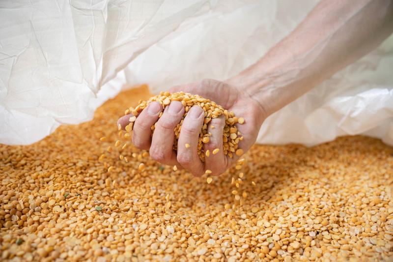 عامل يتفحّص عينة من البازلاء من دون قشرة في منشأة لمعالجة بروتين البازلاء في بوريس في داوسون، بولاية مينيسوتا