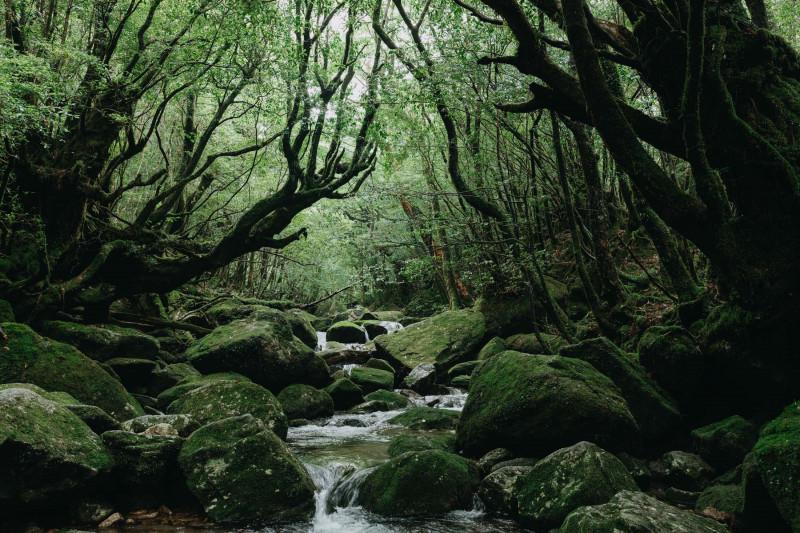 تيار من الماء وسط غابة ياكوشيما باليابان