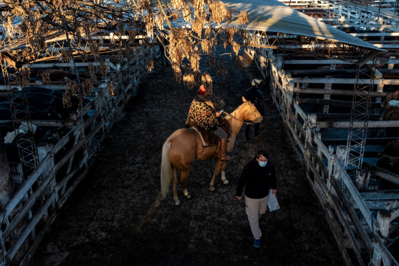 راعي الماشية أنغيل غونزاليس ممتطياً الحصان أثناء إشرافه على قطيع الماشية