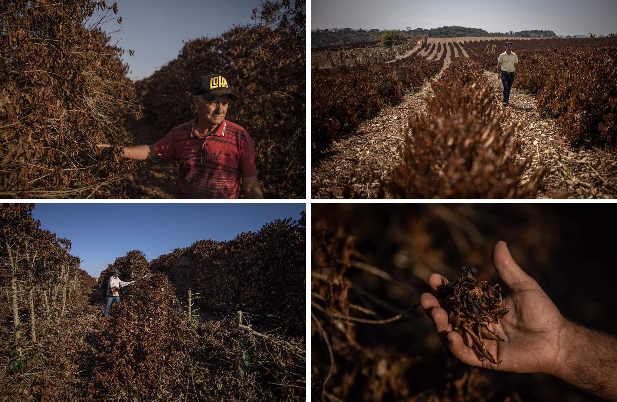 فقد غولارت (أعلى اليسار)  11 ألف شجرة  شكلت قوام  مزرعته للبن في كاكوندي