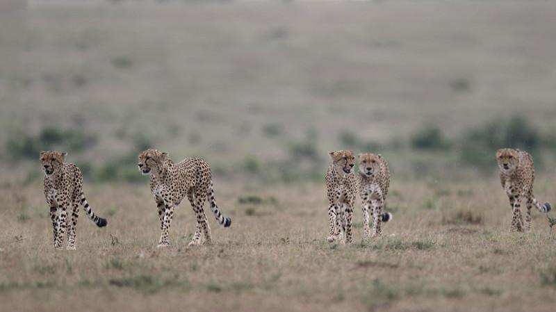 الفهد، أسرع حيوان برّي في العالم، يواجه خطر الانقراض