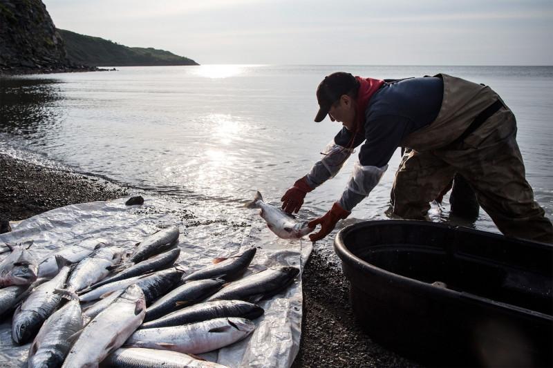 صياد ينظف سمك السلمون الطازج في ألاسكا، عام 2015