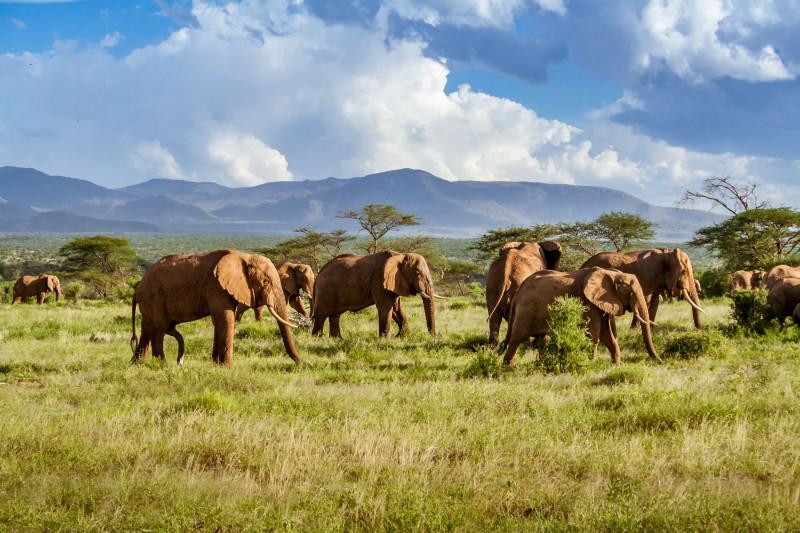 قطيع الأفيال في السافانا الأفريقية