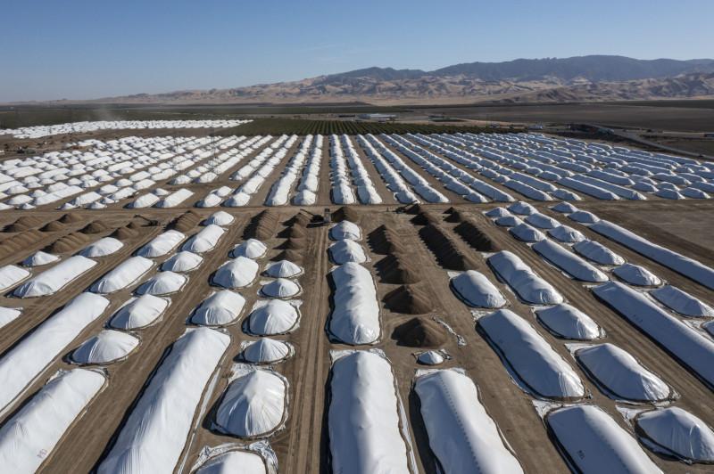 """تقشير اللوز في مصنع """"سوبيرير ألموند هالينغ"""" في كانتوا كريك، كاليفورنيا، وتُستبدل بساتين اللوز بمحاصيل غير غذائية في مزرعة وولف"""